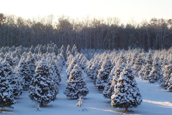 A Tree To Trim – Pick your own at a local Christmas tree farm - A Tree To Trim €� Pick Your Own At A Local Christmas Tree Farm - Look